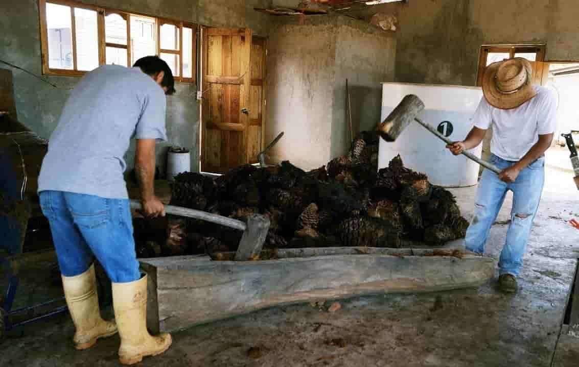 machuque de las piñas de agave, proceso de elaboración de bacanora